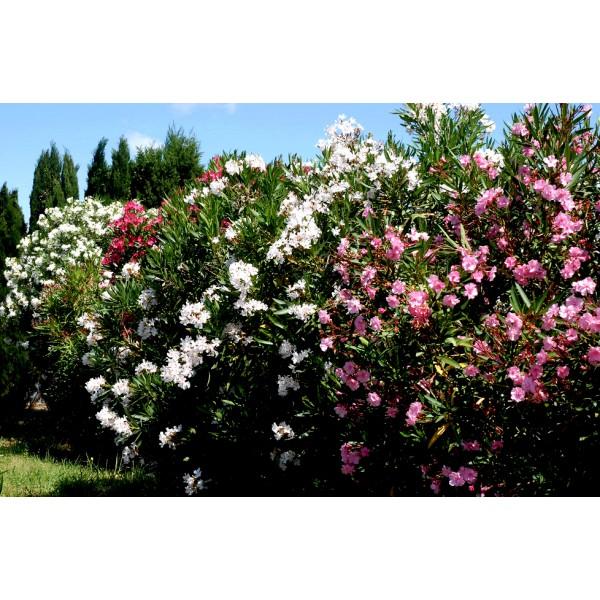 laurier rose nerium oleander jardinerie marius ferrat. Black Bedroom Furniture Sets. Home Design Ideas