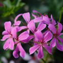 GERANIUM LIERRE SIMPLE