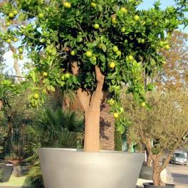 hivernage citronnier cest une varit de citronnier qui fleurit plusieurs fois dans lanne il. Black Bedroom Furniture Sets. Home Design Ideas