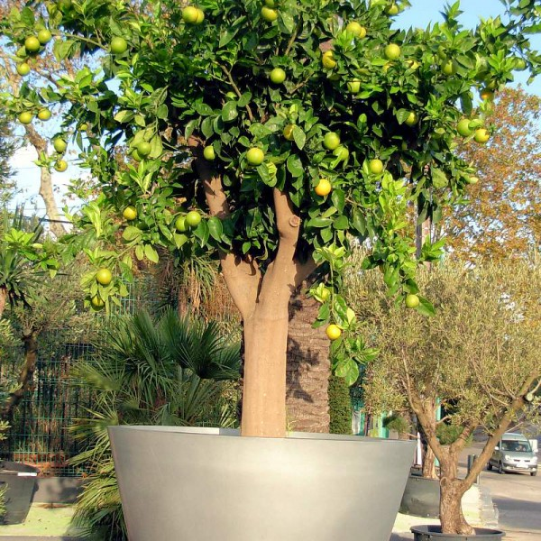 Citronnier - Arbre fruitier en pot ...