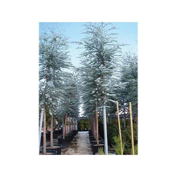 Eucalyptus for Haute futaie