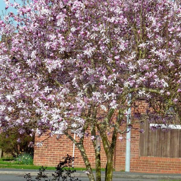 Magnolia for Haute futaie