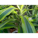 DRACAENA GALLY