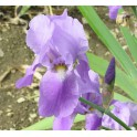 "IRIS ""HARBOR BLUE"""