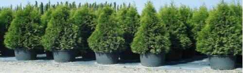 Arbustes ornementaux de decoration