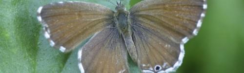 Papillon du géranium