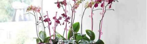 Tuteurs orchidées