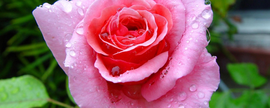 Astuce : bouturer un rosier